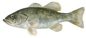 Perca: pez de río
