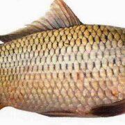 Carpa: pez de rio